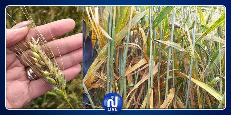 القيروان: انتشار غير مسبوق لعدة أمراض فطرية بمزارع الحبوب (صور)
