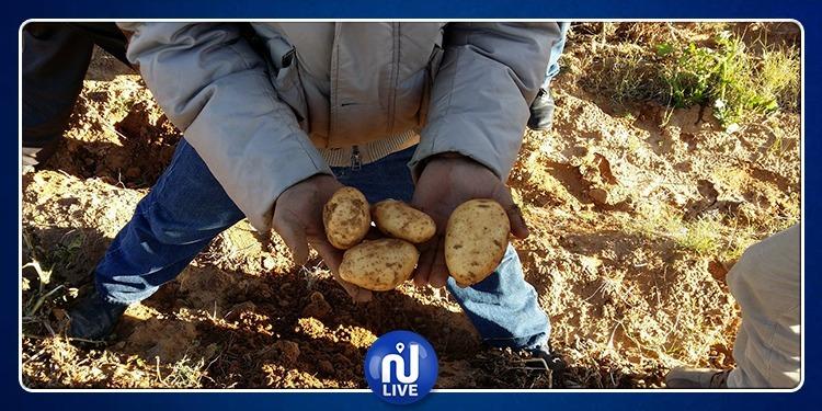 Jendouba: les cultures de pomme de terre menacées …