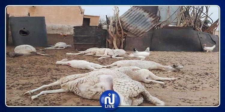 الجزائر: الطاعون يواصل زحفه وينتشر في 15 ولاية