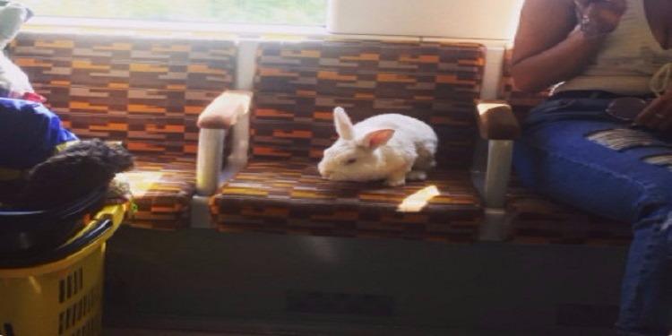 بريطانيا: أرنب يستقل المواصلات العامة بمفرده (صور)