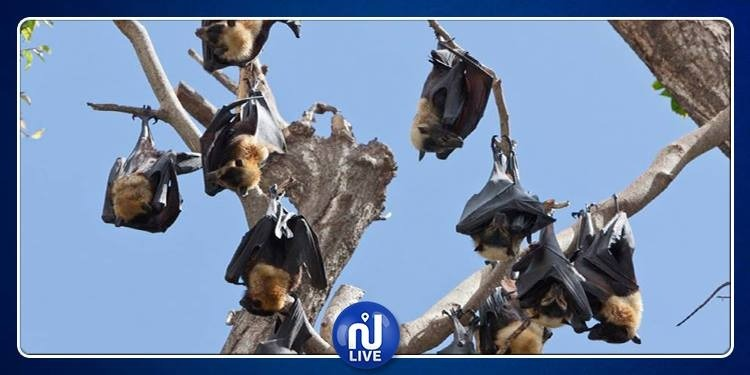 خفافيش مسعورة تهاجم مدينة سيدني
