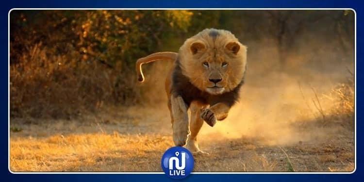 جريمة بشعة: قتل 54 أسداً في جنوب إفريقيا