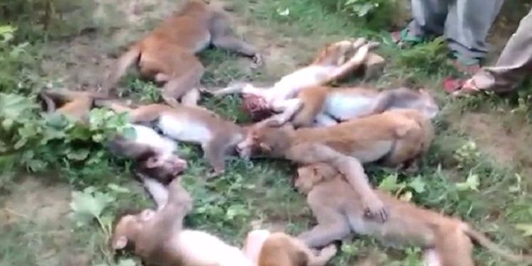 وفاة 12 قردا بسكتة قلبية (فيديو)