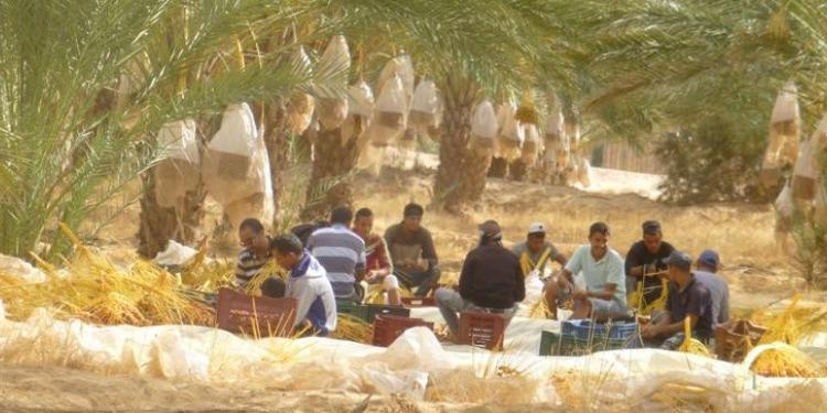 Vente aux enchères de la récolte de dattes de la ferme ''STIL'', à Jemna