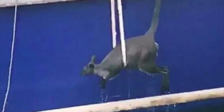 إنقاذ كنغرًا صغيرًا سقط في المياه