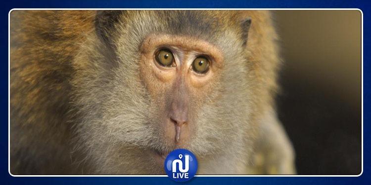 Chine-expérimentation: des gènes du cerveau humain sur des singes ?