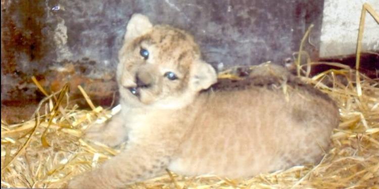 ولادة شبل بحديقة الحيوانات البلفيدير
