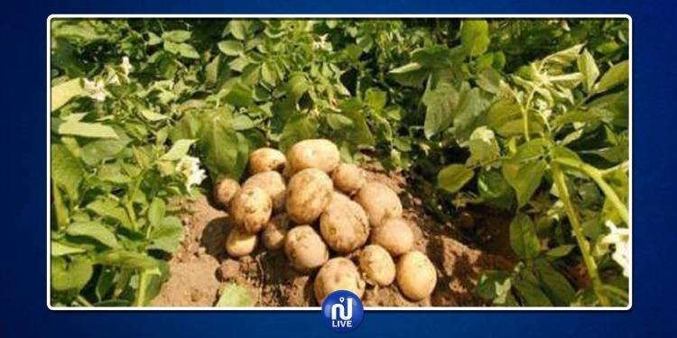 جندوبة: إتلاف 200 هكتار من البطاطا واتحاد الفلاحين يطالب بفتح تحقيق