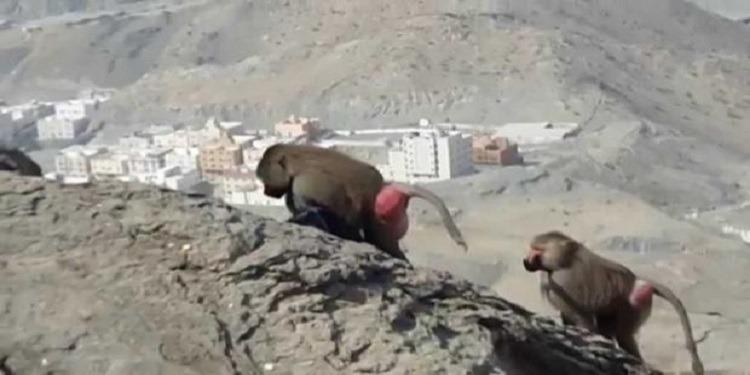 قرد يسرق حقيبة زائرة في جبل النور بمكة المكرمة (فيديو)