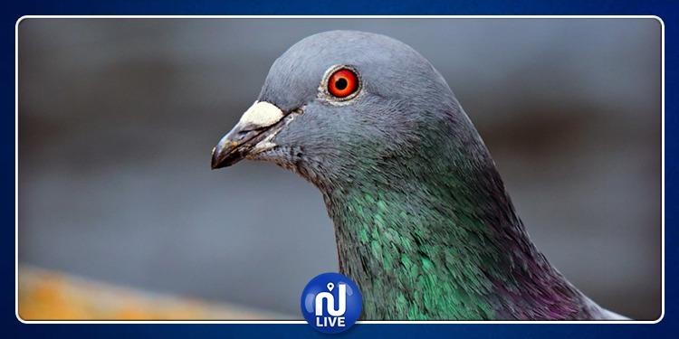 Armando, le pigeon voyageur qui vaut 1,2 million d'euros…