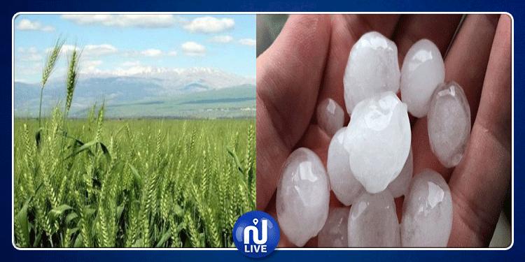 الكاف: تساقط البرد يتسبب في أضرار بمساحات كبيرة لمزارع الحبوب