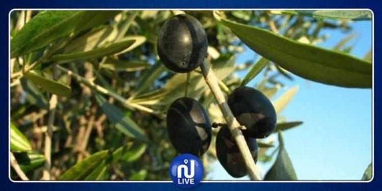 بن عروس: تراجع بأكثر من 50 بالمائة في كميات إنتاج الزيتون